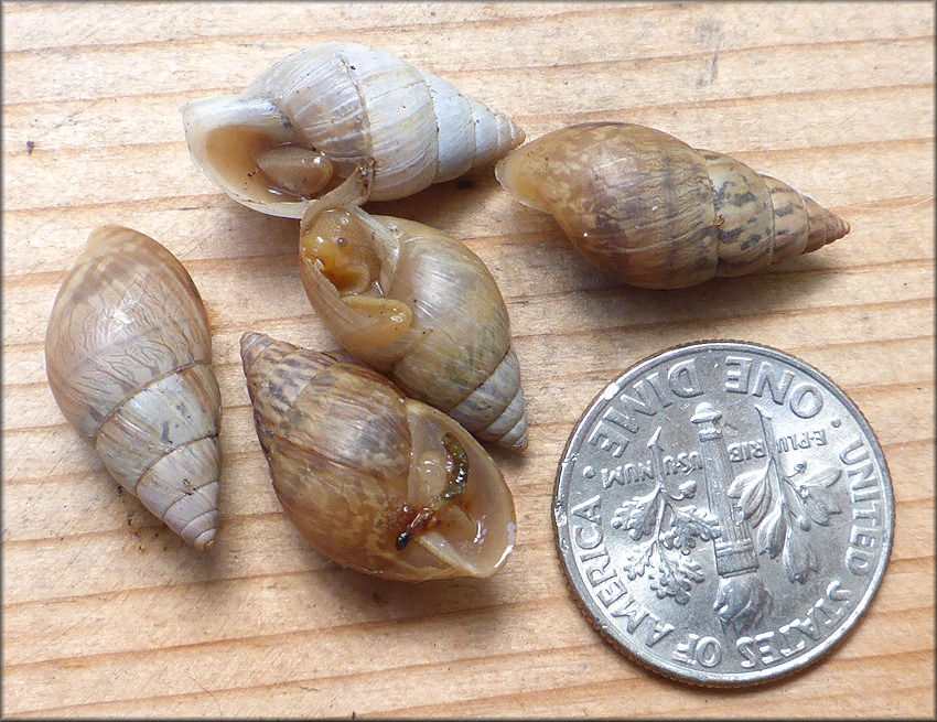 Bulimulus sporadicus From Building At The Intersection Of Cortez Road And Beach Boulevard