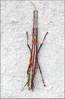 Two-striped Walkingstick [Anisomorpha buprestoides] Female With Parasites
