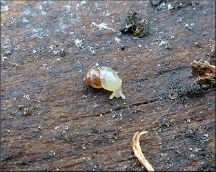 Liguus fasciatus M�ller 1774 Florida Tree Snail Laying Eggs