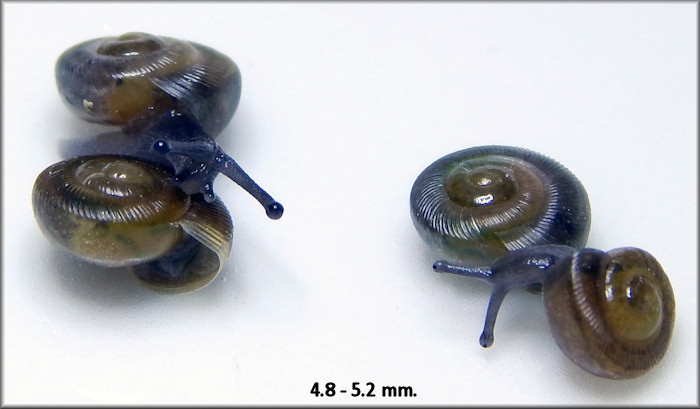 Triodopsis hopetonensis (Shuttleworth, 1852) hatchlings
