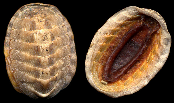 Chaetopleura apiculata (Say, 1838) Eastern Beaded Chiton