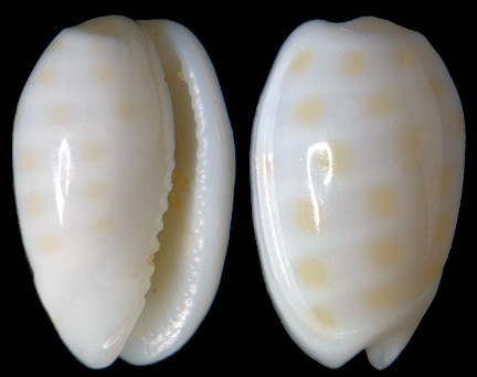 Persicula chrysomelina (Redfield, 1848)