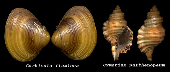 Thoughts On The Peregrinations Of Three Mollusks