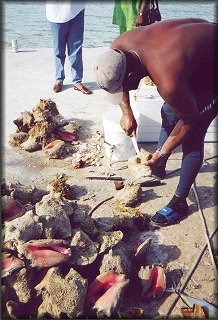 Fisherman cleans the day's catch of  Strombus gigas