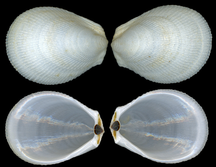 Ctenoides scaber (Born, 1778) Rough Fileclam