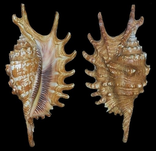 Lambis digitata