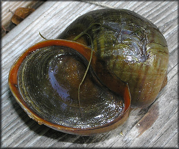 Live Pomacea maculata from Cunningham Creek (10/5/2006)