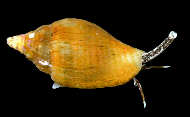 Columbella mercatoria (Linnaeus, 1758) West Indian Dovesnail