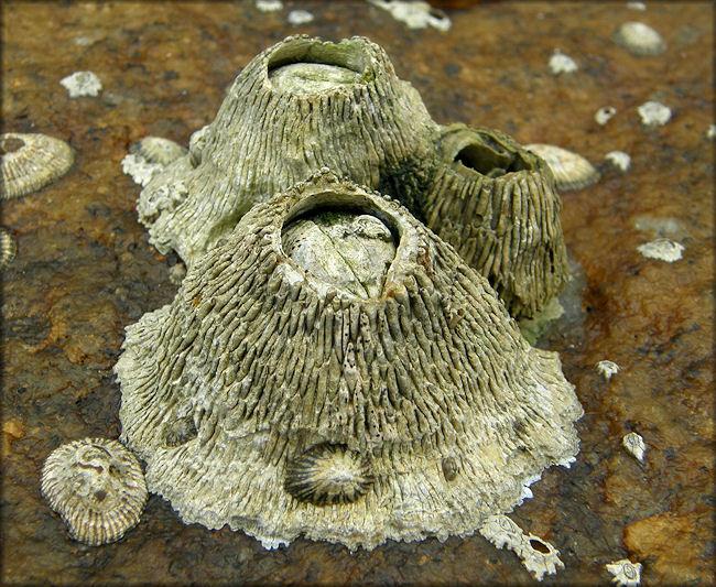 Tetraclita Stalactifera Lamarck 1818 Quot Ribbed Barnacle Quot