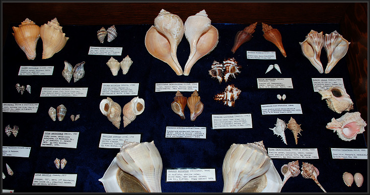 Some of the specimens listed above on display at the Jacksonville Shell Club Show (June, 2007)