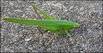 Conehead Katydid [Neoconocephalus species]