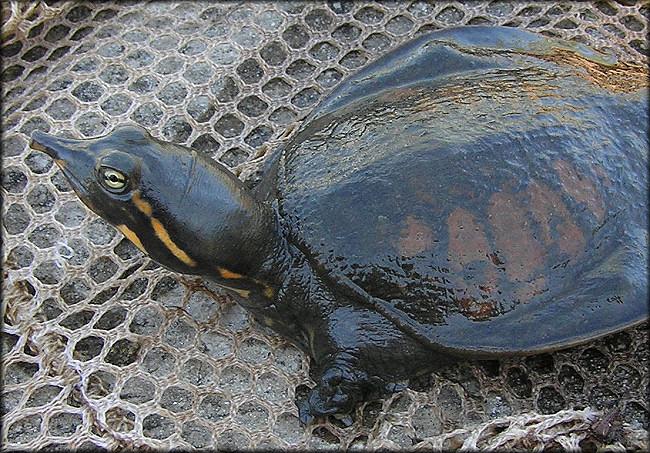 Florida Softshell Turtle [ Apalone ferox ]