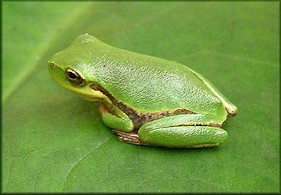 Squirrel Treefrog [Hyla squirella]