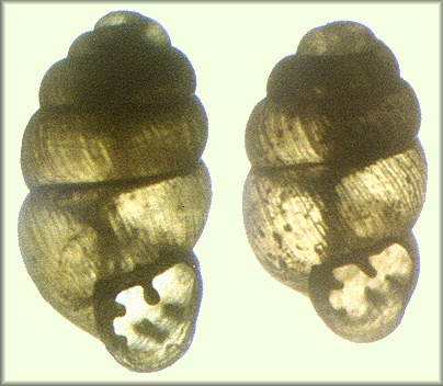 Vertigo gouldii (A. Binney, 1843) (1.84 and 1.68 mm.) showing conchological variation