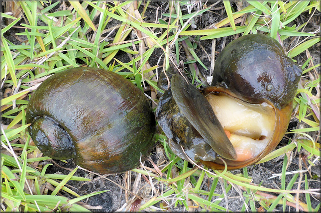 Mating pairs of Pomacea maculata from the drainage system