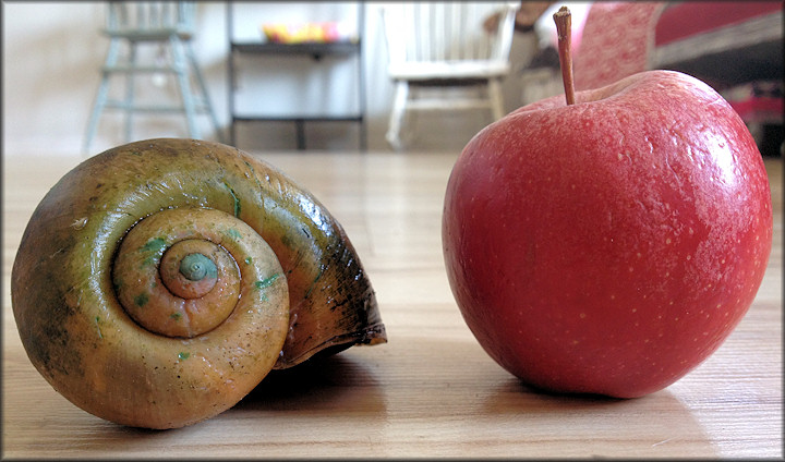 Apple Snail and Apple