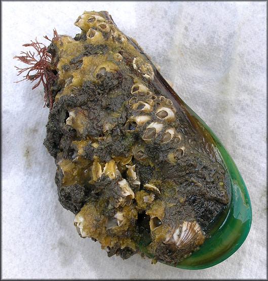 green mussel perna viridis shells as Read heat shocking of philippine green mussels, perna viridis, international journal of food science & technology on deepdyve, the largest online rental service for.