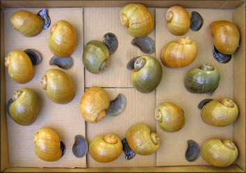 Selection of Pomacea maculata from the aquatic center lake (6/29/2006)