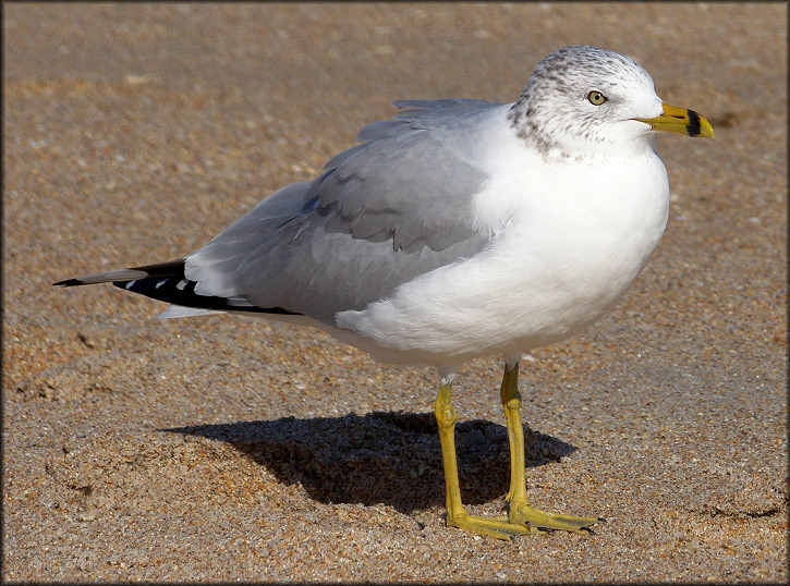Larus delawarensis Ring-billed Gull