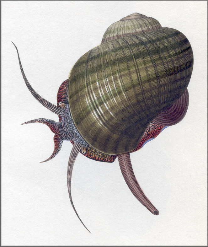 Pomacea paludosa (Say, 1829) Hand Colored Plate