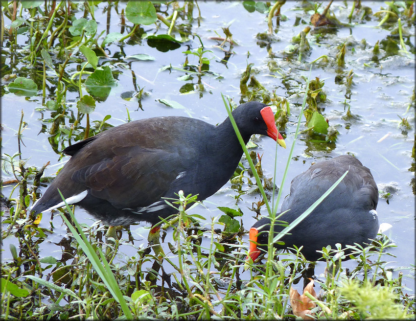 Common Moorhen [Gallinula chloropus]