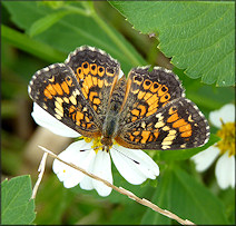 Phaon Crescent Phyciodes phaon