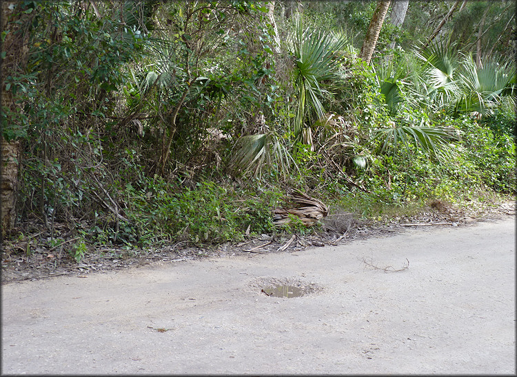 Roadside swale on Palmetto Avenue where the Daedalochila auriculata was found on 1/7/2013 (looking east)