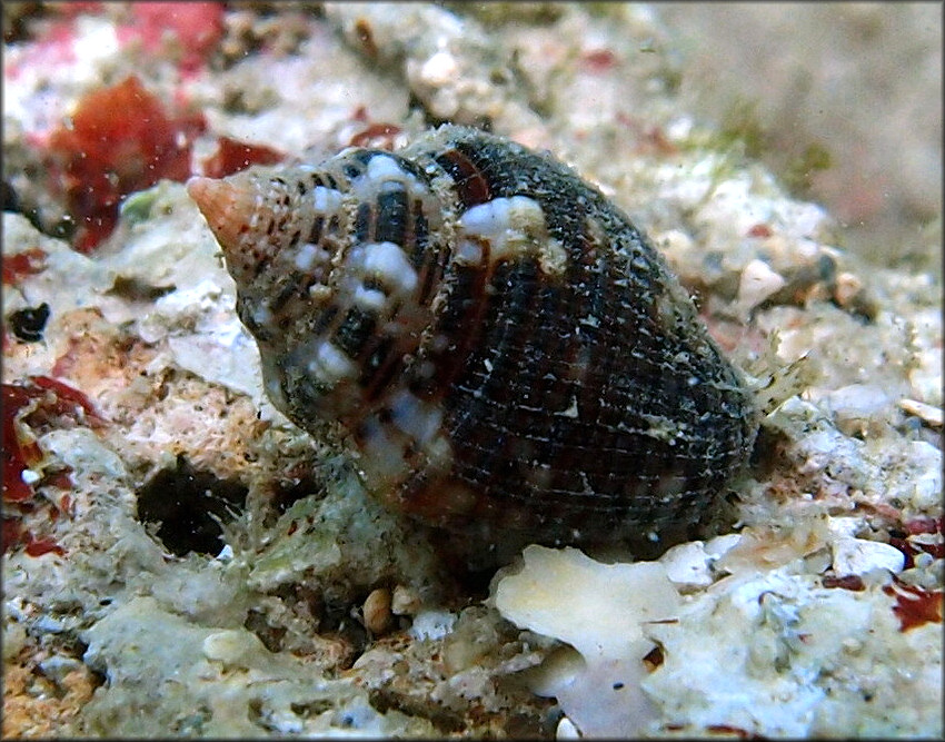 Columbella mercatoria (Linnaeus, 1758) West Indian Dovesnail Juvenile
