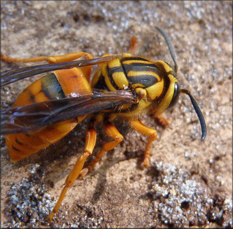Southern Yellowjacket Vespula squamosa