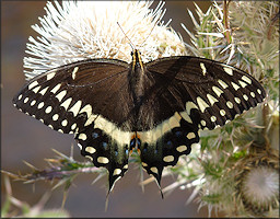 Palamedes Swallowtail Papilio palamedes