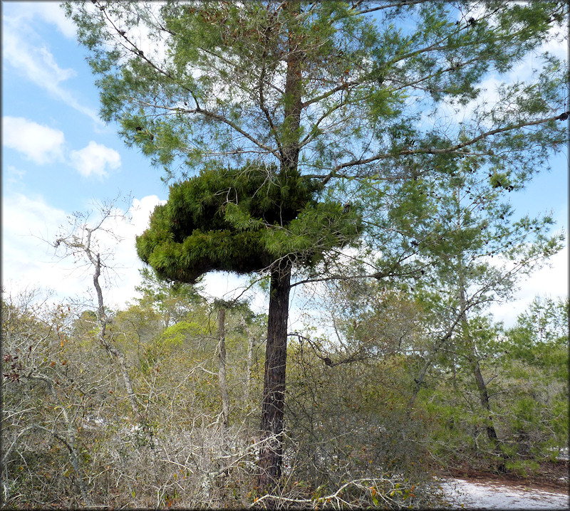 "Sand Pine - Pinus clausus (Engelmann, 1877) With ""Witch's Broom"""