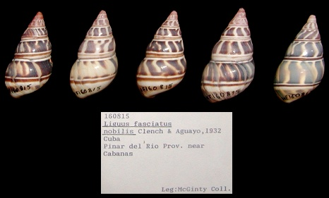 Liguus fasciatus nobilis Clench and Aquayo, 1932