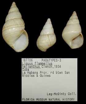 Liguus flammellus helianthus Clench, 1934 Paratypes