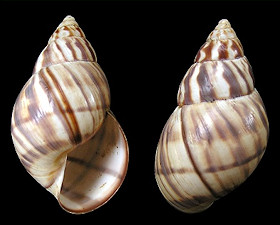 Orthalicus reses reses (Say, 1830) Stock Island Tree Snail