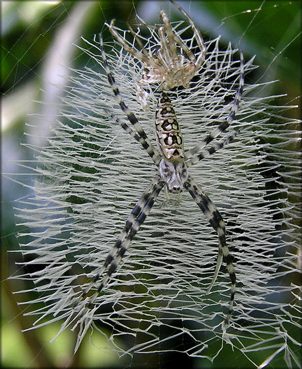 Unidentified Argiope Spider
