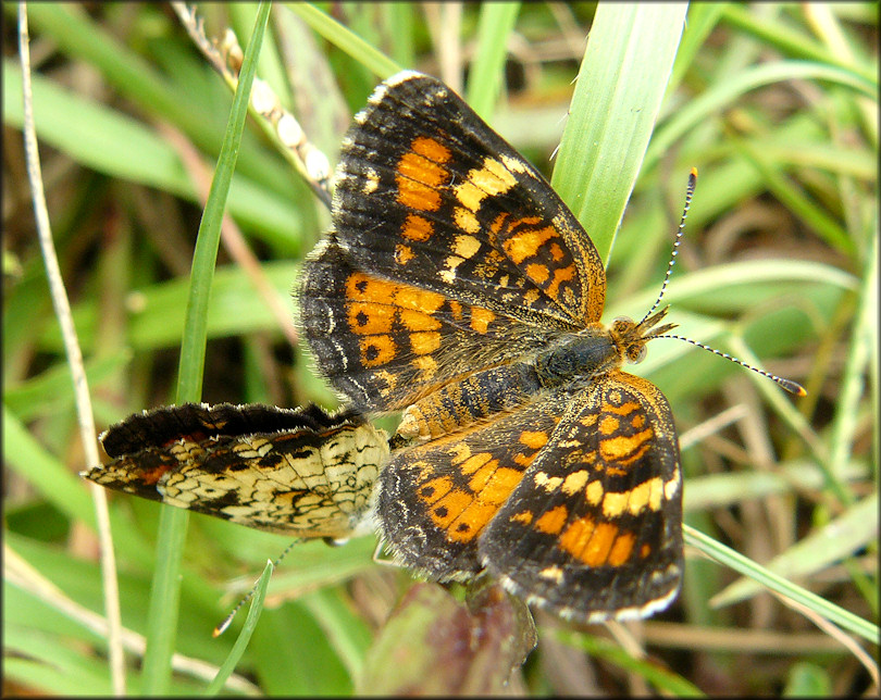 Phaon Crescent [Phyciodes phaon] Mating