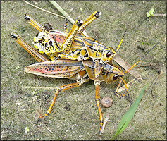 Eastern Lubber Grasshopper [Romalea microptera] Mating