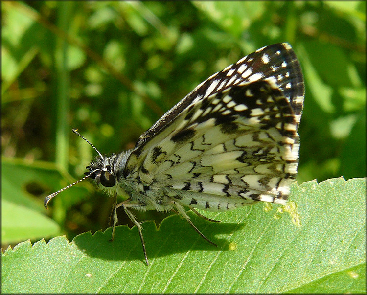 Tropical Checkerboard Skipper [Pyrgus oileus]