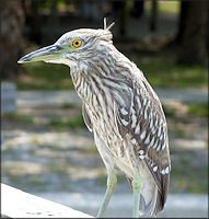 Nycticorax nycticorax Black-crowned Night-Heron Juvenile