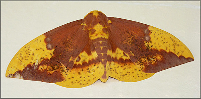 Imperial Moth [Eacles imperialis]