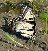 Eastern Tiger Swallowtail [Papilio glaucus]