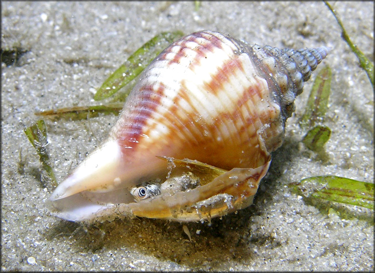 Strombus alatus Gmelin, 1791 Florida Fighting Conch Living Juvenile In Situ