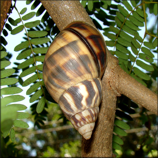 orthalicus reses reses say 1830 stock island tree snail