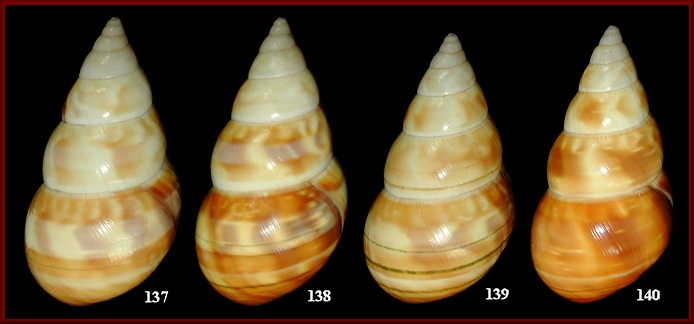 Liguus fasciatus kennethi Jones, 1979