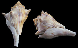 Genus Busycon Freak Shells