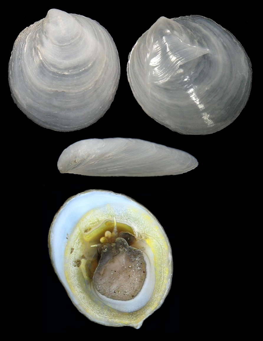 Crepidula atrasolea Collin, 2000 Blackfoot Slippersnail