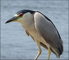 Nycticorax nycticorax Black-crowned Night-Heron