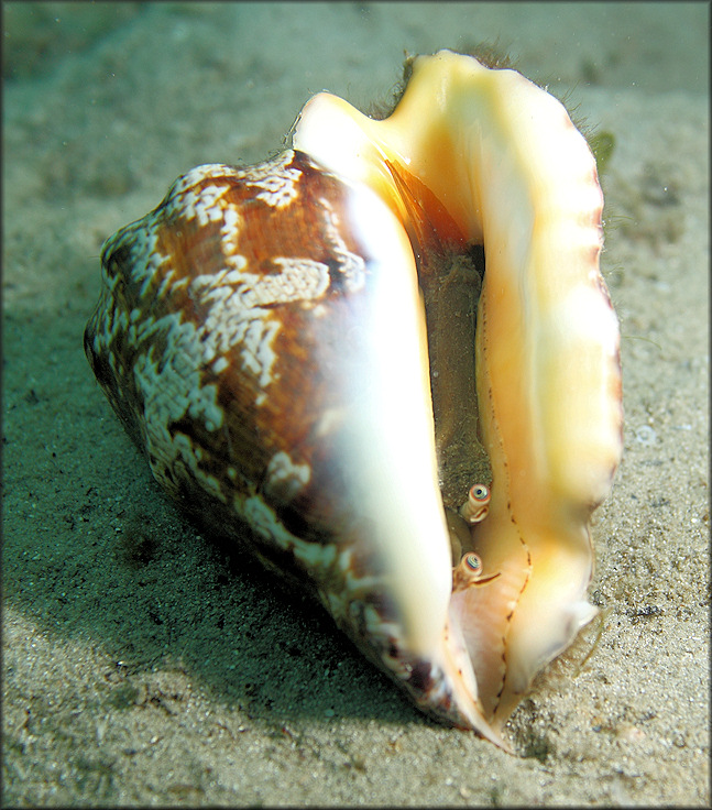Strombus raninus Gmelin, 1791 Hawkwing Conch Living Animal