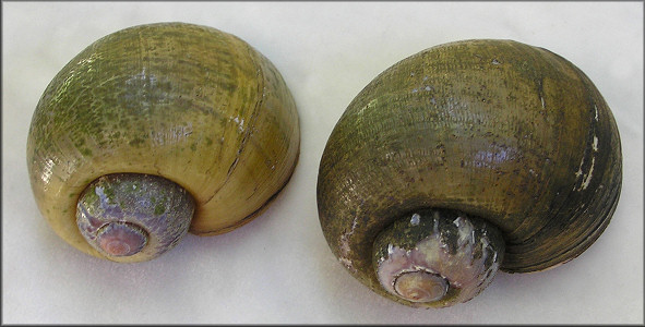 Two Pomacea maculata collected at Lake Brantley