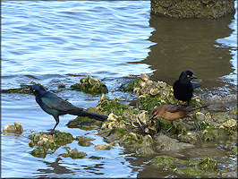 Quiscalus major Boat-tailed Grackle